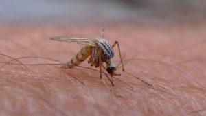 Wetenschappers hebben een mug gecreëerd die malaria niet kan overbrengen op mensen. Foto: Global Panorama