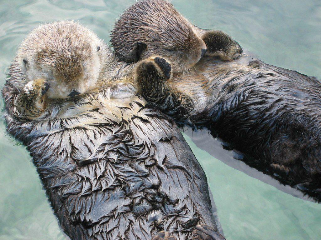 Otters drijven graag poot in poot op hun rug. Zo drijven ze niet uit elkaar. Foto: Joe Robertson