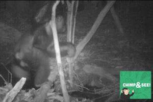 Cameravallen hebben nachtelijke chimps op heterdaad betrapt. Beeld: The Pan African Programme: The Cultured Chimpanzee and the Tai Chimpanzee Project