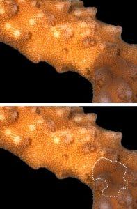 De platworm is in staat zich goed te camoufleren. Credit: Jörg Wiedenmann