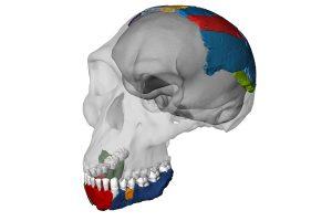 reconstructie schedel Homo habilis