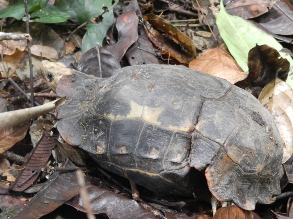 Klepschildpad