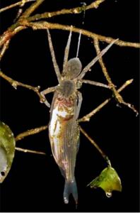 Deze spin hengelt zijn prooi uit het water nadat hij hem gevangen heeft. Credit: Nyffeler, Pusey 2014; Creative Commons