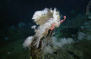 Een grote groep sponzen groeit op een stuk dood koraal. Credit: 2006 MBARI