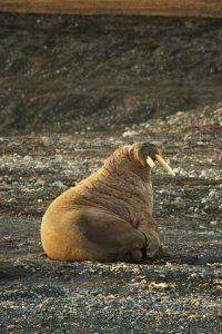 Behalve walrussen als voedsel voor de Inupiat, biedt het poolgebied nog een aantal belangrijke ecosysteemdiensen aan de rest van de wereld