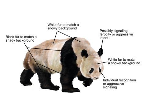 panda-reuzenpanda