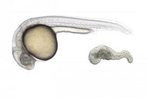 Een zebravisembryo. Credit: Xu et al., 2014
