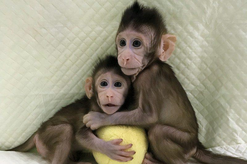 Zhong Zhong and Hua Hua, de eerste gekloonde makaken ter wereld, hebben de discussie over klonen nieuw leven ingeblazen