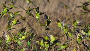 Grasparkieten zijn sociale dieren. In het wild leven ze in grote zwermen samen. Foto: Jim Bendon